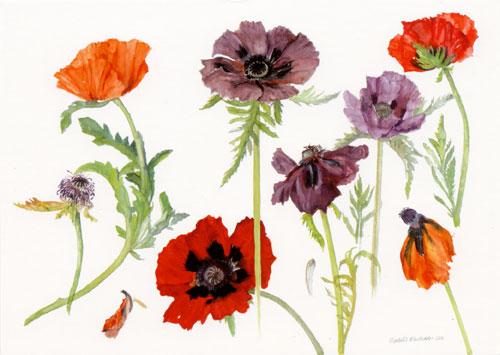 Oriental Poppies, 2010