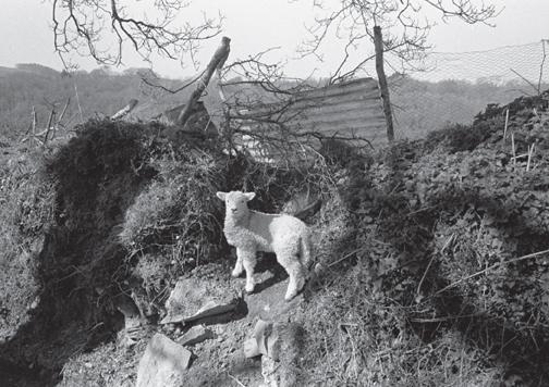 Lamb on a bank, Langham