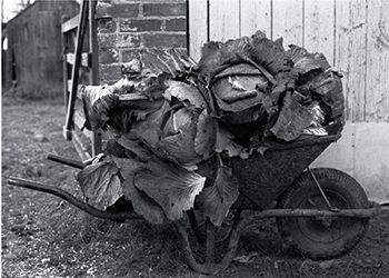 Wheel-barrow loaded with cabbages, Cawseys, Roborough
