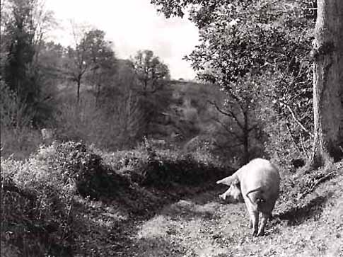 Pig in Oak Woods