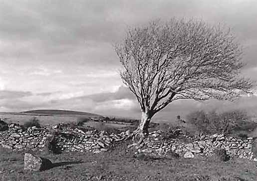 Mountain Ash, Scorhill Gate, Dartmoor, 1998